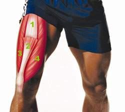 Строение мышцы бедра