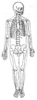 Скелетная система тела