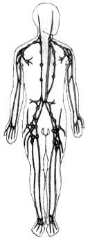 Лимфатическая система тела