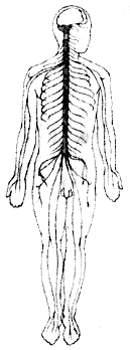 Нервная система тела