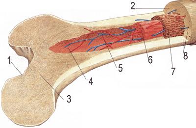 Строение кости человека