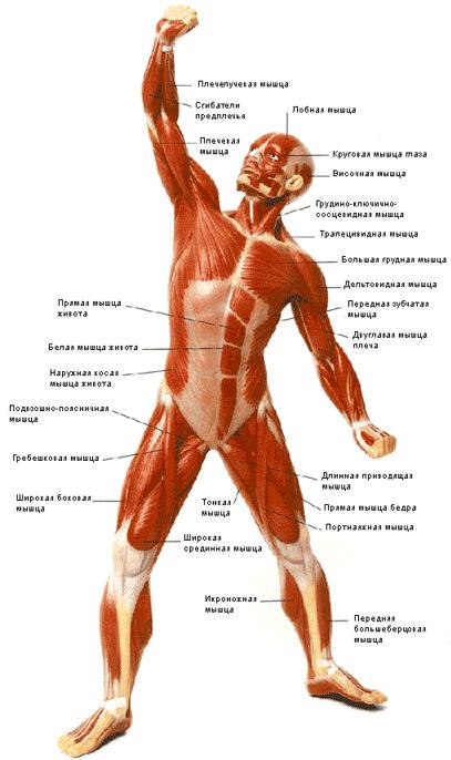 Мышечная система тела (вид спереди)