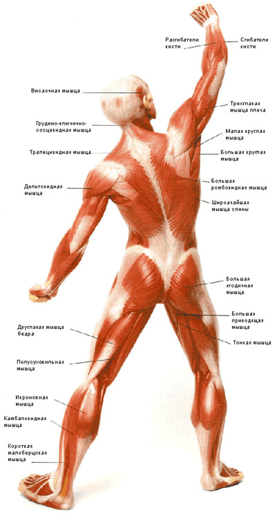 Мышечная система тела (вид сзади)