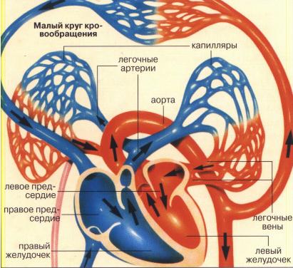 Малый круг кровообращения человека