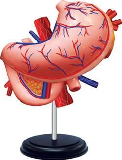 Модель желудка человека
