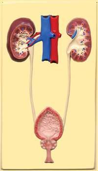 Мочевыделительная система тела