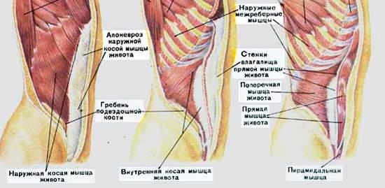 Группы мышц брюшного пресса